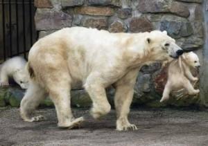 Oso polar y su hijo
