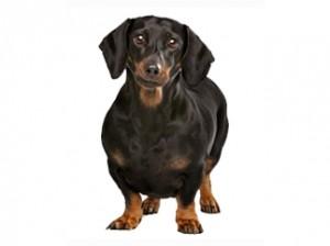 perro gordo enfermedades