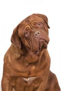 perro dogo cuidados enfermedad