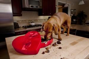 perro alimentacion chocolate
