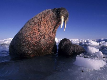baby-walrus-with-mother_9019_600x450
